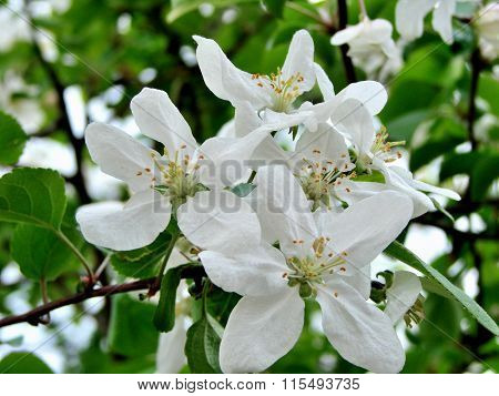 Picture Of Apple Flower Close-up On A Green Background Leaves, Omsk Region, Siberia