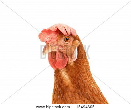 Close Up Portrait Head Of Brown Female Eggs Hen Beautiful Plumage,feather Isolated White Background