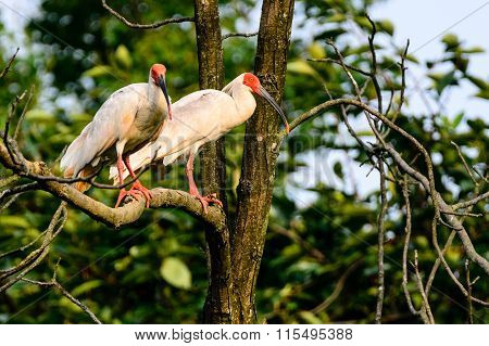 Red head Crested ibis flying on the tree
