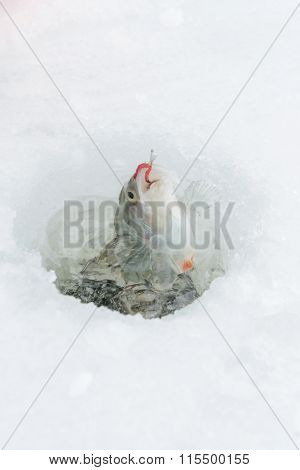 winter catch