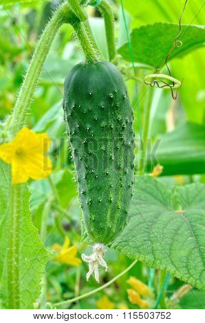 Close-up Of Ripening Cucumber