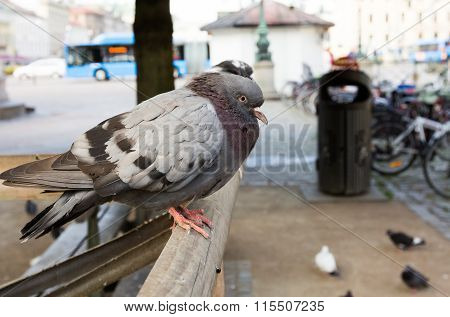 Pigeon in Gothenburg