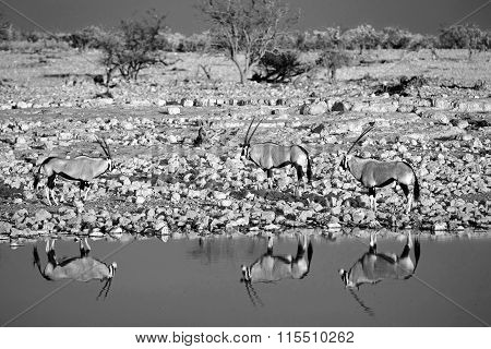 Black & white landscape of 3 oryx at a waterhole with reflection