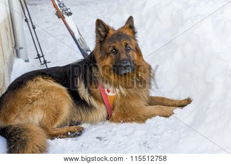 Rescue Dog At Mountain Rescue Service