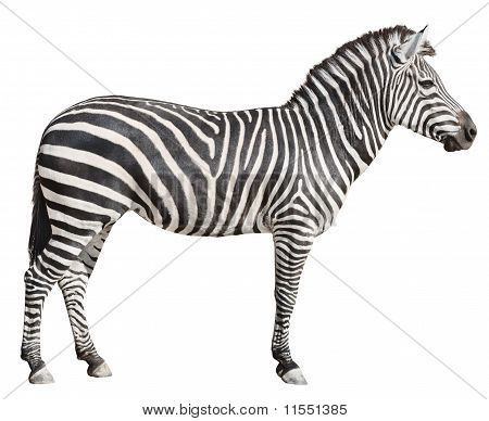 Plain Burchell's Zebra Female Standing Side View On White