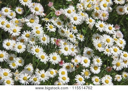 Garden Lawn With Daisies