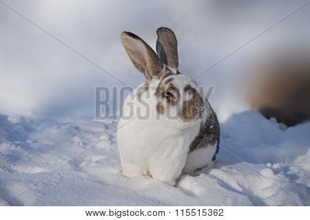 Speckled Rabbit With Brown Ears Sitting In Snowy Garden