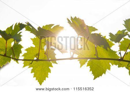 Vine Shot Over A Backlight Background