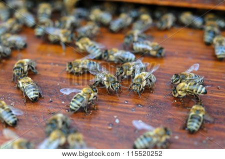 Moving Bees On Wooden Board Of Beehive