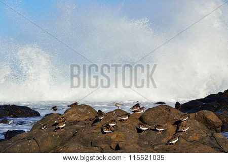 Group of turnstone birds on seashore