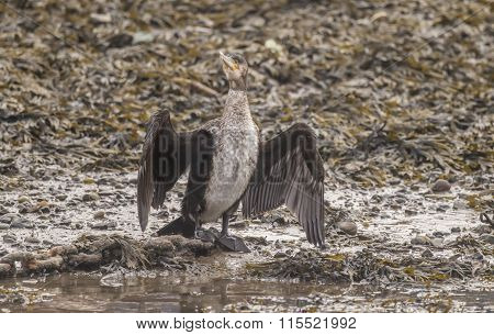 Cormorant drying its wings on seaweed at the waters edge in the harbour