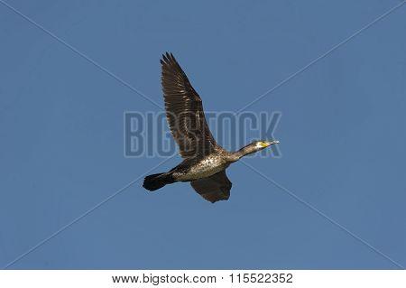 Cormorant in flight in a blue cloudless sky