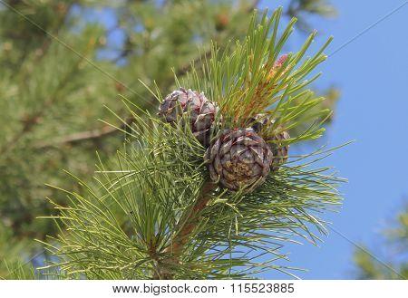 Cones Of Cedar