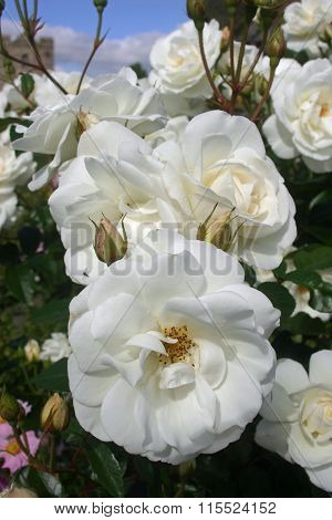 White standard rose flowers