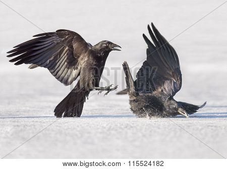 Crows Corvus corone fighting on the ice