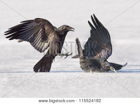 Crows Corvus corone fighting on the ice