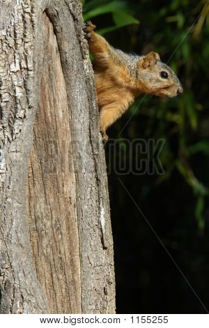 Squirrel On The Side Of A Tree