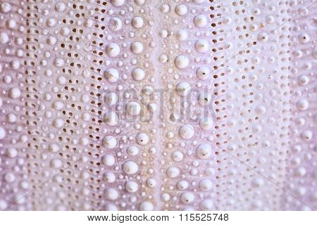 Sea Urchin Shell Background, Macro