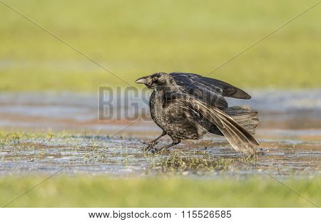 Crows Corvus corone on frosty ground in Winter time
