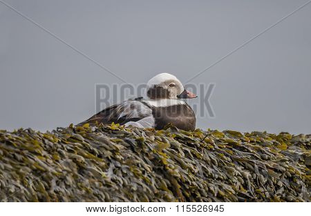 Long tailed duck sitting on a seaweed covered rock