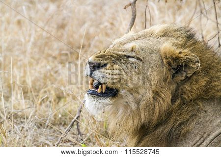 angry Lion In Kruger National Park