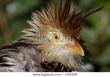 African Mouse Bird