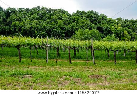 Vineyards Situated In Valpolicella Which Produces Amarone