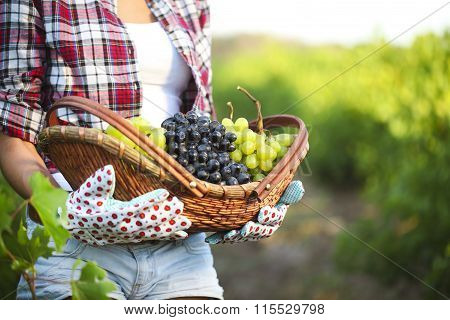 Smiling Woman With Basket Of Grapes In The Vineyard