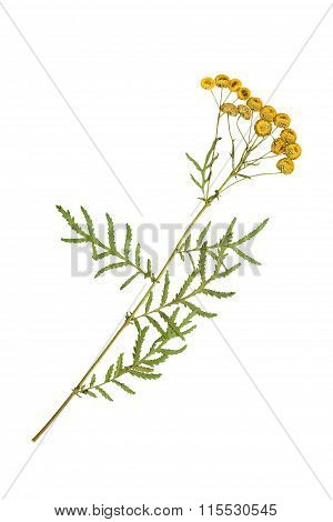 Pressed And Dried Flowers Of Tansy ?? Tanacetum.