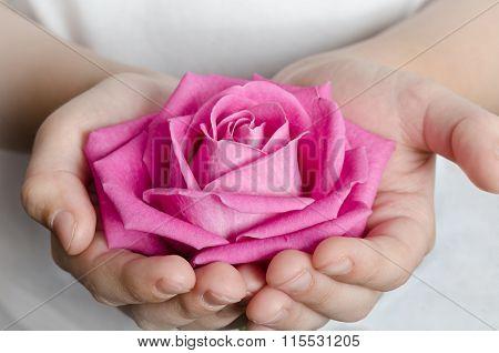 Beautiful Pink Rosebud In Hands
