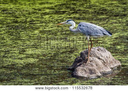 Grey Heron In Kruger National Park