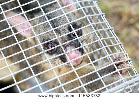 Possum Caught In a Trap