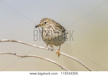 Meadow pipit perched on a branch