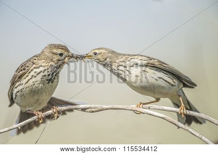 Meadow pipits feeding each other on a branch in Spring time