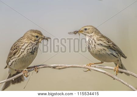 Meadow pipits feeding on a branch in Spring time