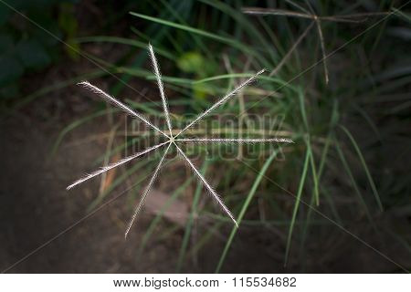 Star Shaped Grassy Herb