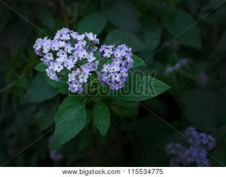 Purple Violet Heliotrop Flowers