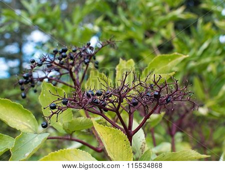 Black Elder Sambucus Nigra Berries