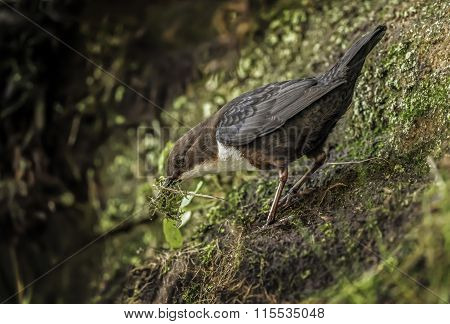 Dipper on a rock with nesting material