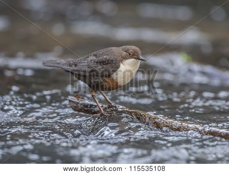 Dipper perched on a branch in a stream