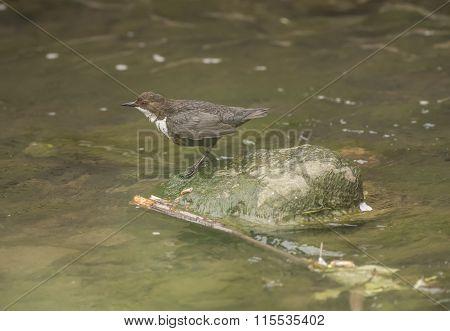 Dipper on a rock in a stream