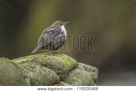 Dipper perched on a rock