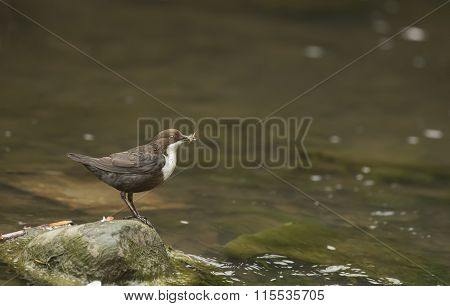 Dipper perched on a rock in a stream with food in beak