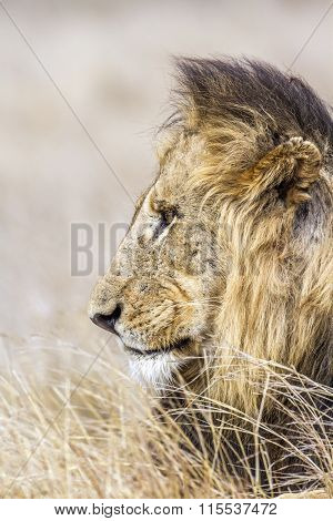 portrait of a wild male lion in South Africa