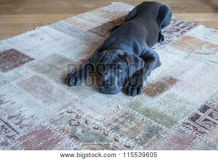 Lying Down Cane Corso Puppy Waiting For Food