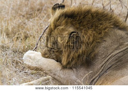 Lion scratching its paw In Kruger National Park