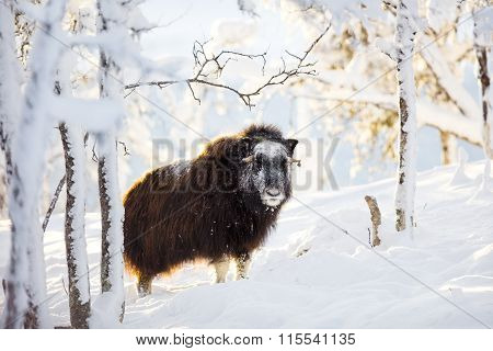 Large musk standing in the winter snow at sunset
