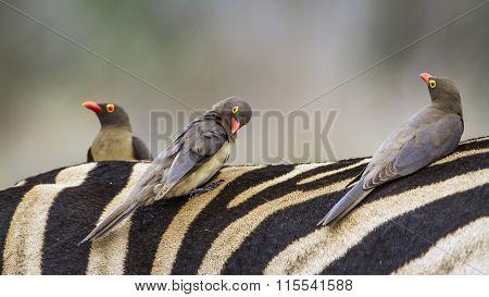 Red-billed Buffalo-weaver In Kruger National Park
