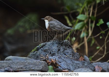 Dipper perched on a rock above a river