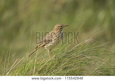Meadow pipit , Anthus pratensis,perched in the grass